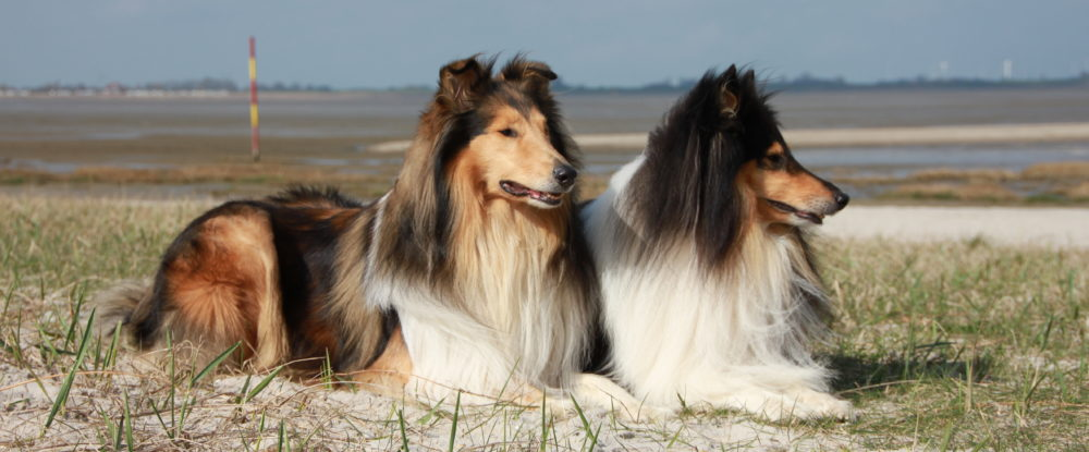 Collies vom Wasserliliental